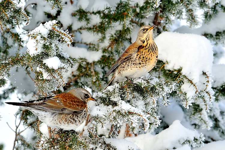 Fieldfare - photo stock