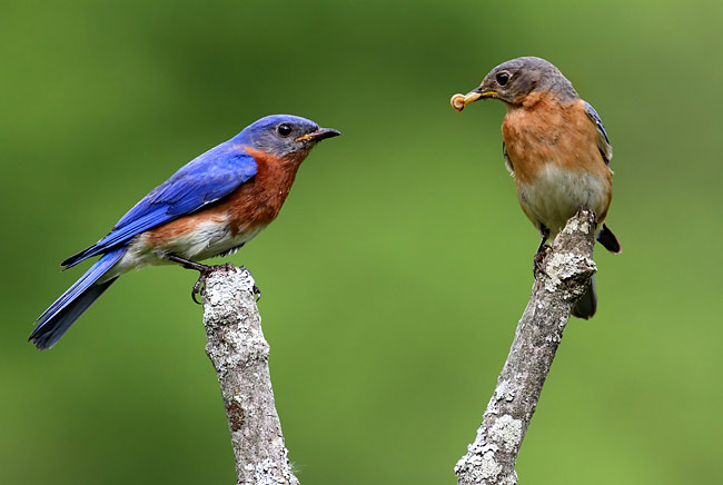 Eastern Bluebird  - pictures