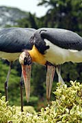 Lesser Adjutant - photos, Leptoptilos javanicus