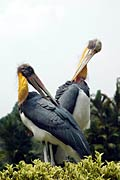 Photos - Lesser Adjutant