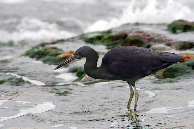 Pacific Reef Heron - photos, Egretta sacra