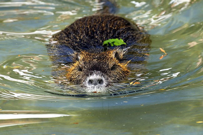 Coypu  - pictures