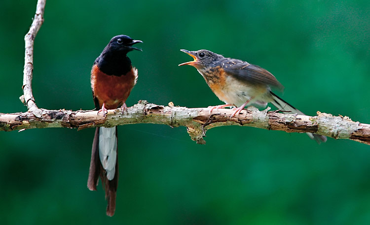 White-rumped Shama  - pictures