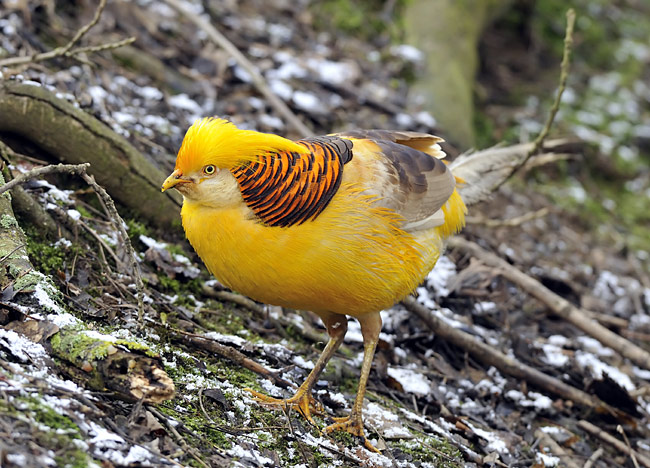Golden Pheasant - photos, Chrysolophus pictus