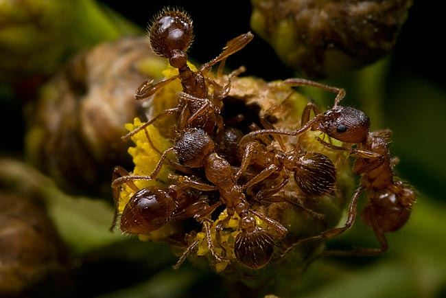 Common Red Ant - photos, Myrmica rubra