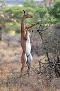 Gerenuk - photos, Litocranius walleri