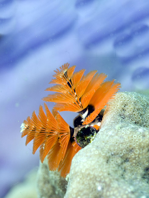 Christmas tree worms  - pictures