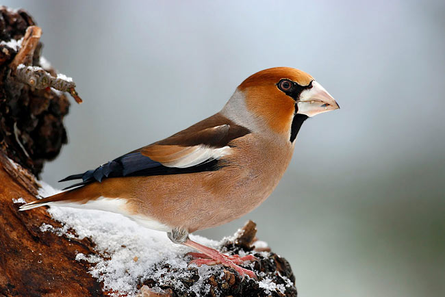 Hawfinch - photos