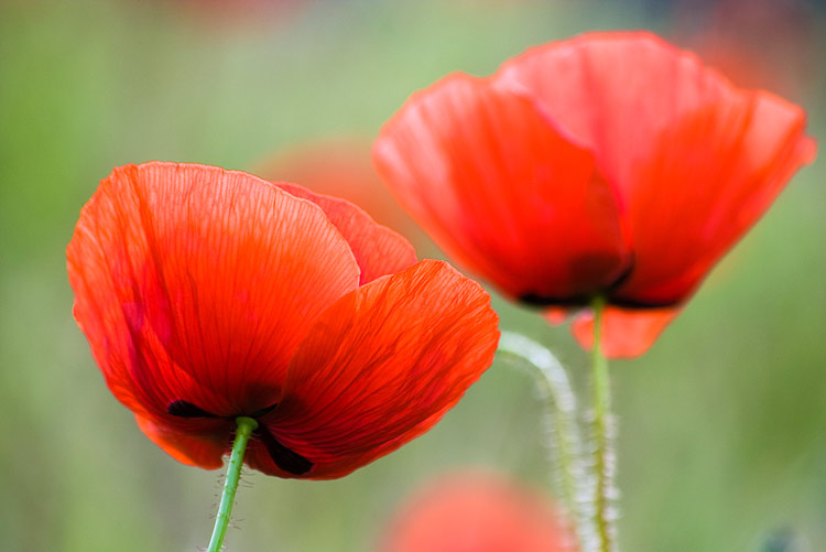 Poppy nature pictures