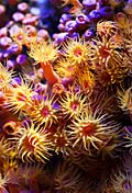 Sea anemone  - Corals