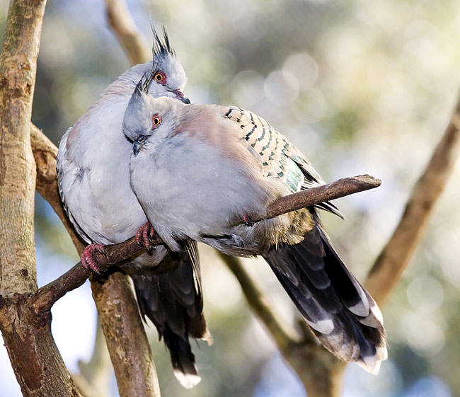 Crested Pigeon - photos, Ocyphaps lophotes