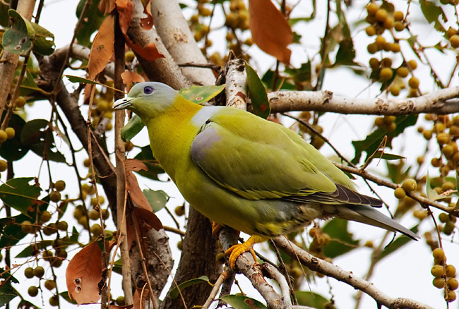 Yellow-footed Green Pigeon - photos, Treron phoenicoptera