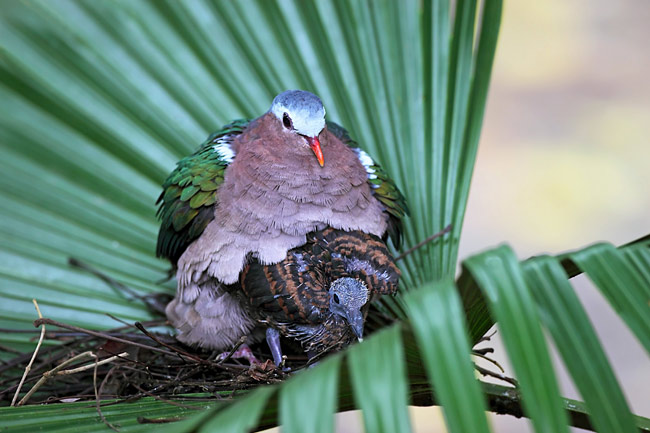 Emerald Dove - photos, Chalcophaps indica