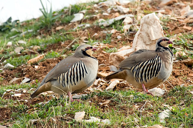 Chukars - photos, Alectoris chukar