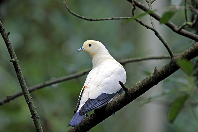 Pied Imperial-pigeon - photos, Ducula bicolor