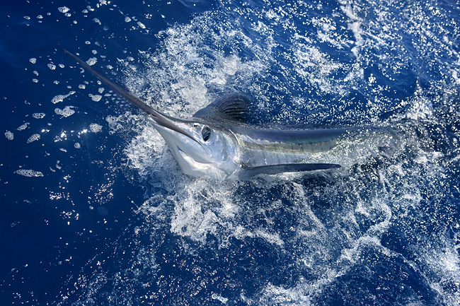 White marlin - photos, Tetrapturus albidus