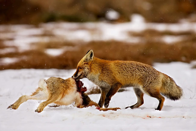 pictures - Fox