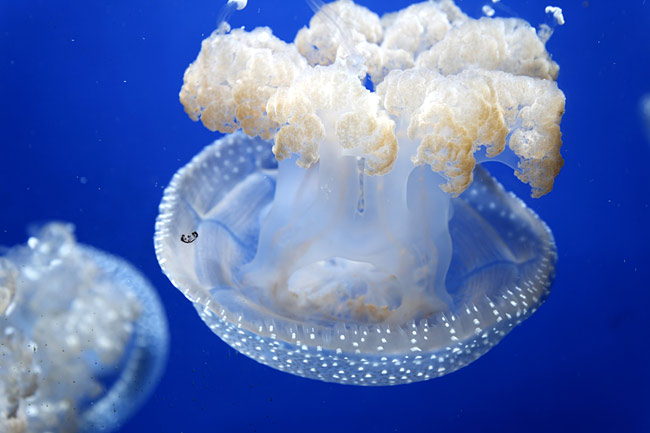 Jellyfish  - pictures