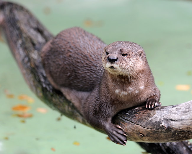 Spotted-necked Otter - photos, Hydrictis maculicollis