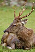 Sambar deer - photos, Cervus unicolor