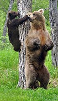 Grizzly Bear - photos, Ursus arctos horribilis