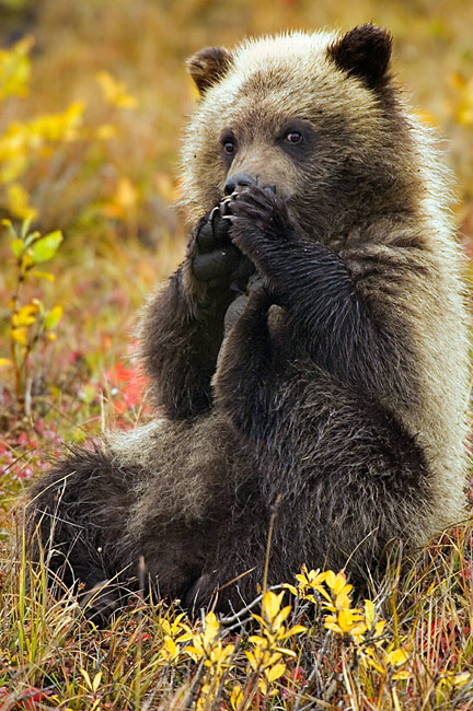 Grizzly Bear  cub - pictures