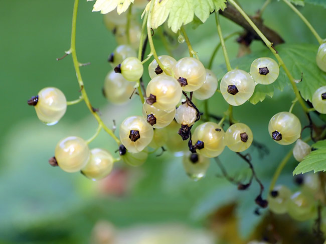 White currant - photos