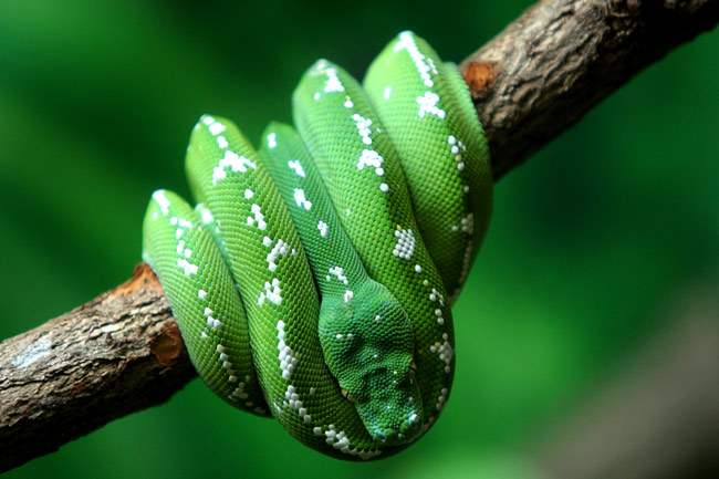 Green tree python  - pictures