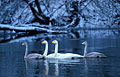 Whooper Swan - photography