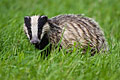 Badger - photos, Meles meles