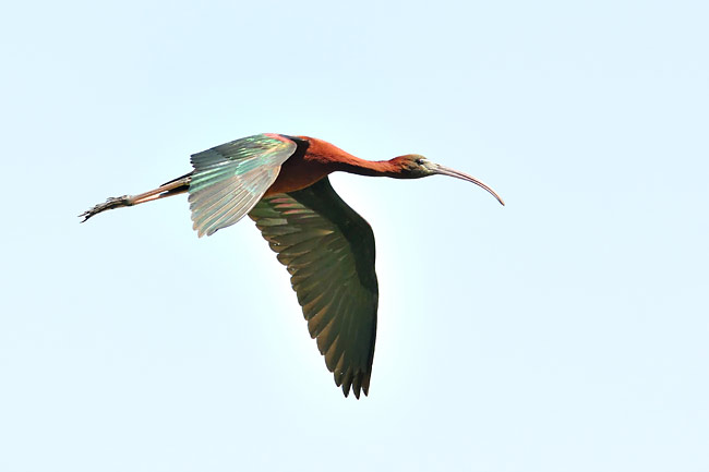 Glossy Ibis  - pictures