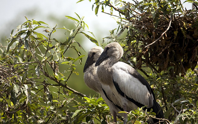 Asian Openbill - photos, Anastomus oscitans