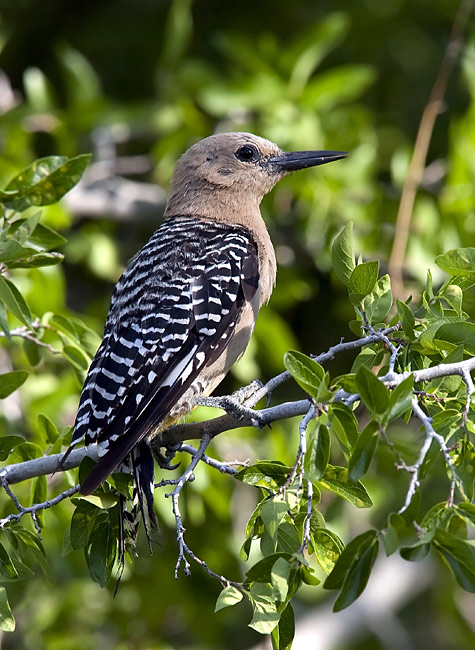 Gila Woodpecker - photos, Melanerpes uropygialis