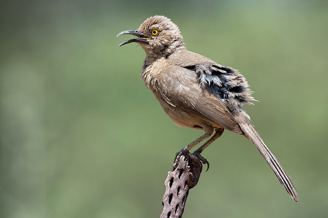 Curve-billed Thrasher - photos, Toxostoma curvirostre
