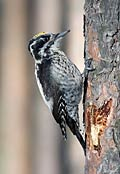 Three-toed Woodpecker - photos, Picoides tridactylus