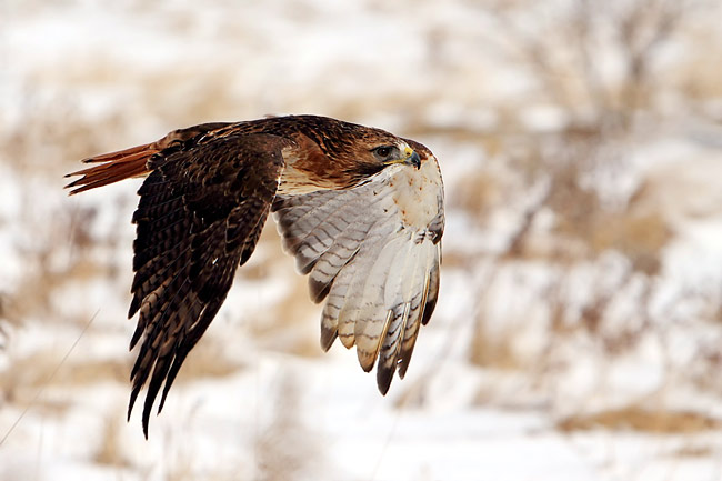 Red-tailed Hawk - photography