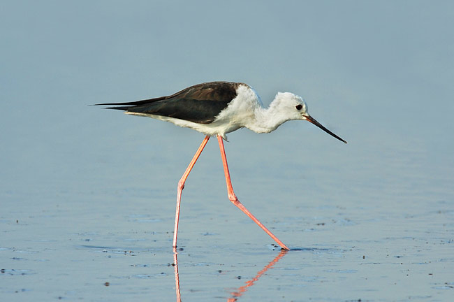 Black-winged Stilt - photos, Himantopus himantopus