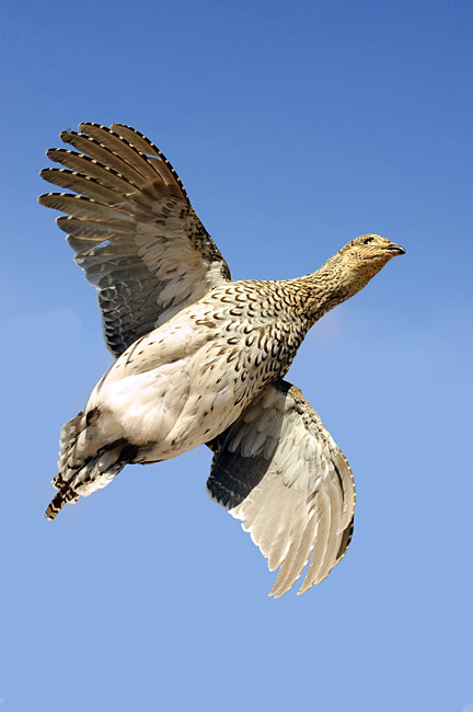 Sharp-tailed Grouse - photos, Tympanuchus phasianellus