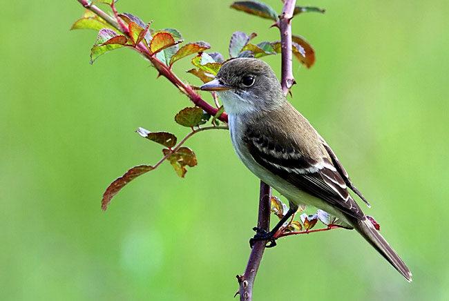 Willow Flycatcher - photos, Empidonax traillii