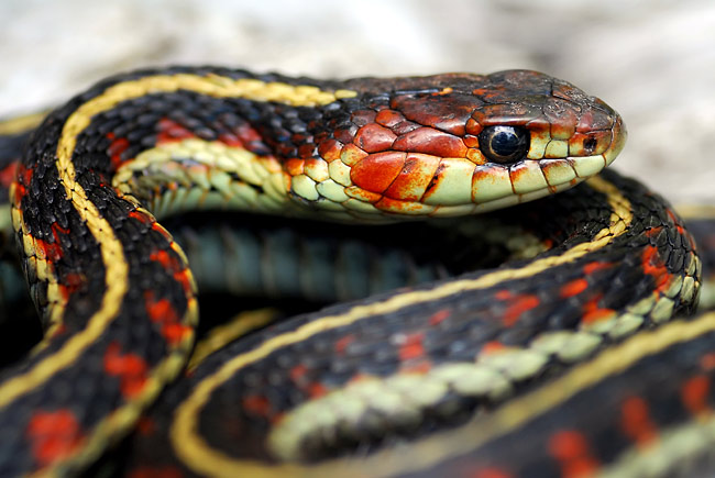 California Red-sided Garter Snake - photos, Thamnophis sirtalis infernalis
