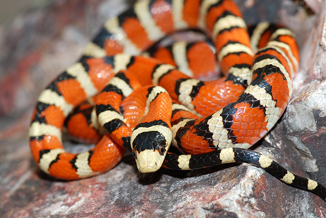 Kingsnake - photos, Lampropeltis