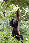 Black Howler Monkey  - pictures