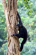 Photos - Chimps