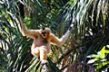 Northern White-cheeked Gibbon  - Gibbons