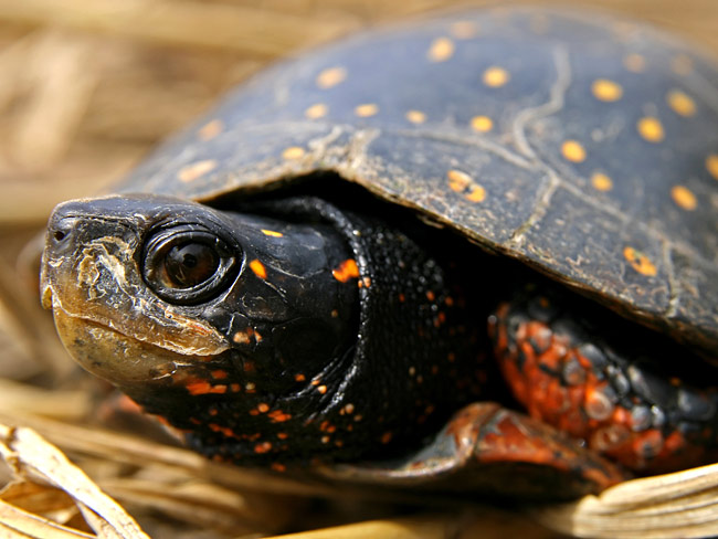 Spotted Turtle - photos, Clemmys guttata