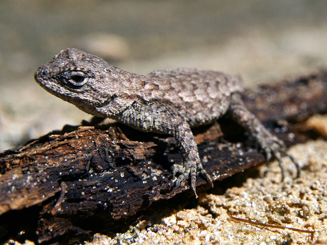 Eastern fence lizard - photos, Sceloporus undulatus