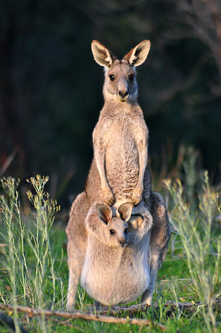 Eastern Grey Kangaroo - photos, Macropus giganteus