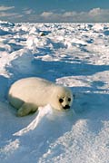 Harp Seal - photos, Phoca groenlandica