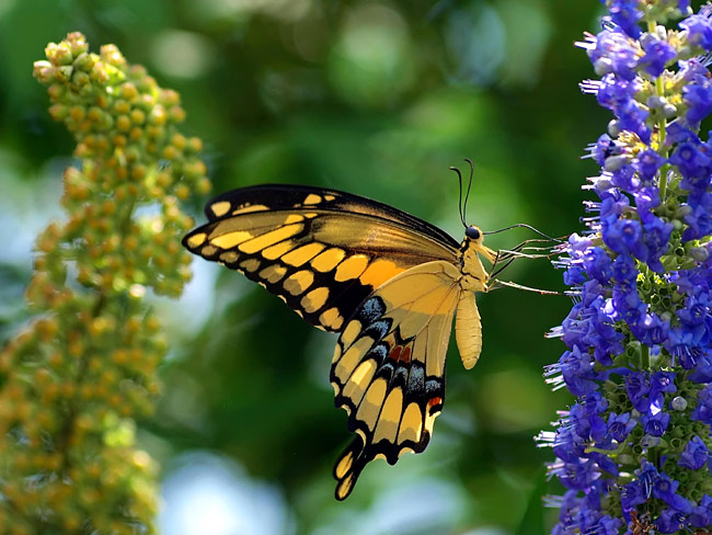 Giant Swallowtail - nature photography