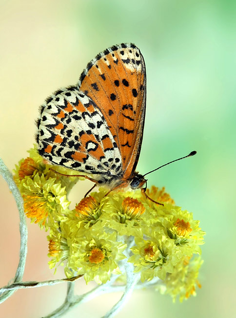Lesser Spotted Fritillary  - pictures